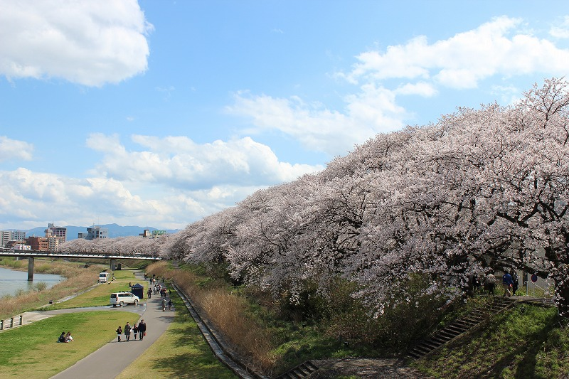 足羽川堤防の桜並木 福井市 Cherry blossoms along the Asuwa River Fukui City April