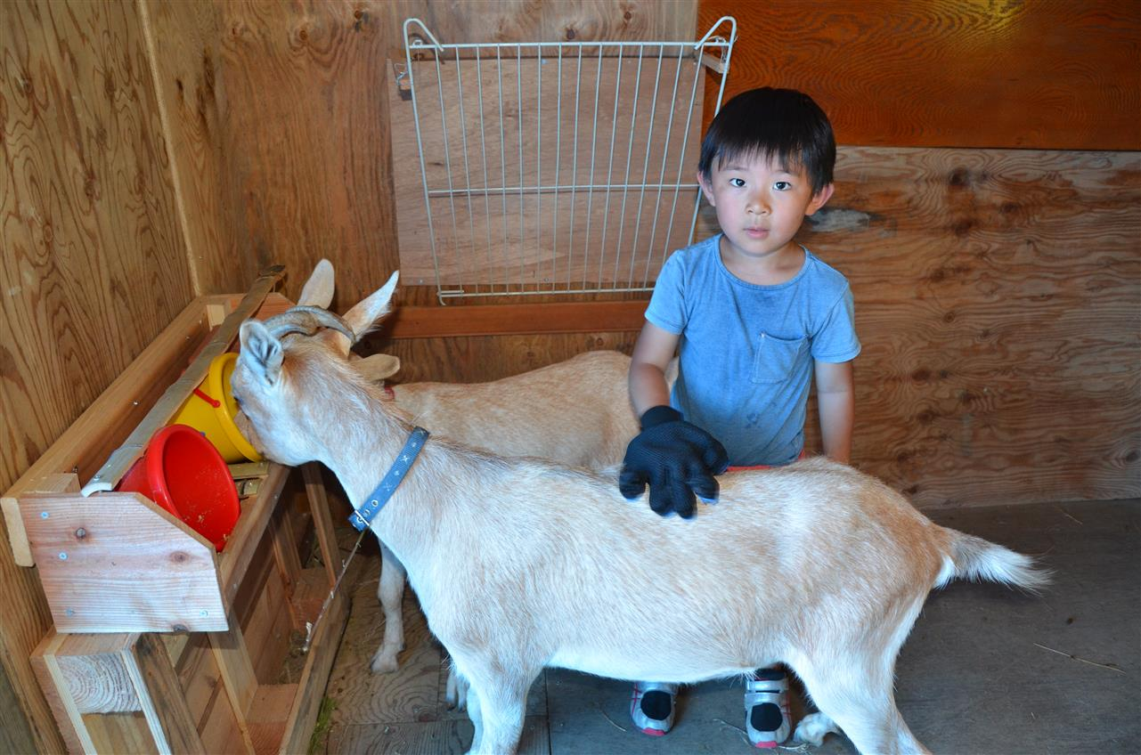 農業体験 山羊の世話 Farming Experience - Taking Care of Goat
