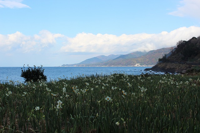 水仙の花が咲く冬の越前海岸 Winter Landscape of Echizen Kaigan Seashore close to Auberge